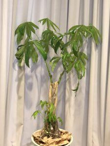 バイきんぐ西村さんを同化ボディペインティングしたカーテンと観葉植物の画像